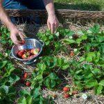 از نحوه کاشت توت فرنگی خانگی مطلع شوید!