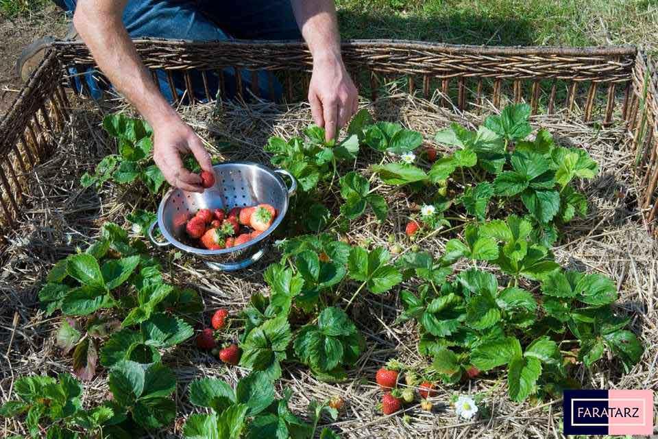 نحوه کاشت توت فرنگی خانگی